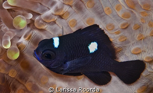 Juvenile Three-spot dascyllus by Larissa Roorda 